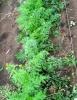 Как сажать морковь и когда выкапывать