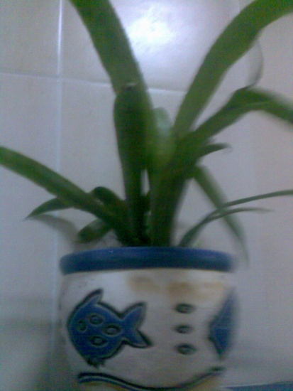 Домашний тюльпан