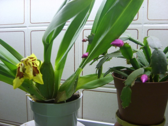 орхидеи фото дендробиум благородный уход в домашних условиях