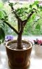 Денежное дерево нуждается  в хорошем свете