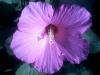 Гибискуса прекрасные цветы