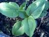 Размножение Хост делением корневища