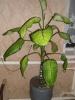 Выращивание диффенбахии