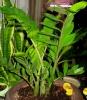 Замиокулькас - неприхотливый красавец