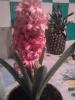 Гиацинт - активный рост весеннего цветочка