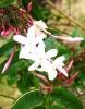 Выращивание жасмина: посадка и уход