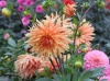 Георгины: выращивание, хранение клубней, посадка и уход