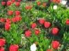Мой опыт в выращивании тюльпанов