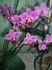 Орхидея из магазина