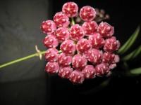 Прекрасное растение хойя.