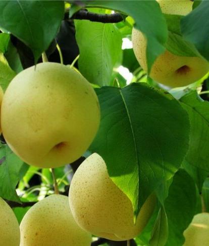 Как сажать грушу правильно