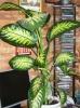Дифенбахия с листочка