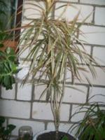 Удобряем пальму без вреда