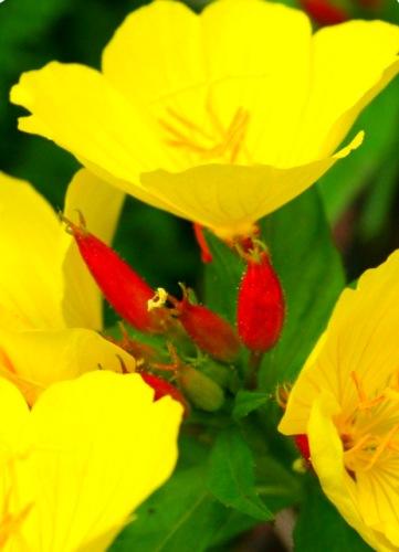 Маттиола (ночная фиалка) и цветок заката — энотера