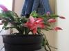 Чтобы декабрист снова радовал цветением...