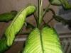 Почему на диффенбахии коричневые листья?