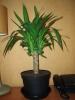 Моё любимое растение Юкка