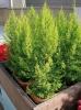 Вечнозеленый кипарис: посадка и уход