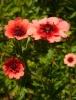 Выращивание лапчатки: посадка и уход