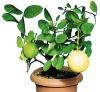 Лимоны в домашних условиях.Возможно ли это?