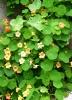 Настурция: выращивание и фото этого цветка