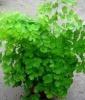Уход за комнатным растением Адиантум  иначе Венерин волос