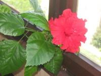 Камелия японска - цветение.