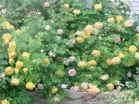 Ржавчина, которая поражает розу