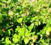 Когда и как произвести обрезку малины и ежевики