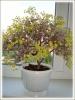 Цветущее мини-деревце