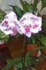 Как стимулировать цветение орхидеи