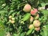 Подготовка и посадка яблонь весной