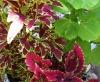 Колеус - украшение цветника
