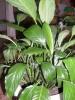 Спатифиллум: первый самостоятельный уход за взрослым растением