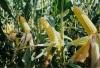 Выращивание кукурузы на приусадебном участке 1