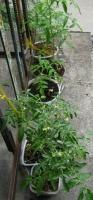 Выращиваю помидоры. Финишная прямая - есть плоды!