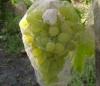 Сорта винограда на фото, защита от ос