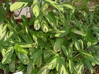 Пересадка растения Ктенанте
