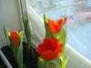 Тюльпаны в комнатных условиях