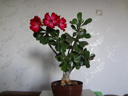 цветок адениум фото: