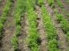 Морковь: выращивание и уход за ней