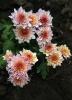 Пересадка и размножение хризантемы