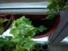 Плющ и фиттония - отличные растения для подвесного кашпо.