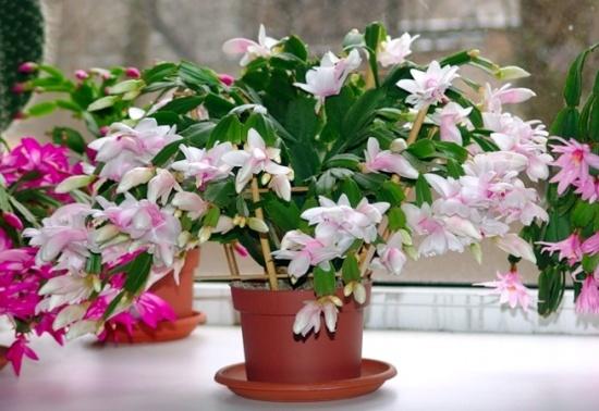 Как заставить декабрист цвести?