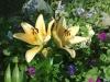 Лилии в моём саду