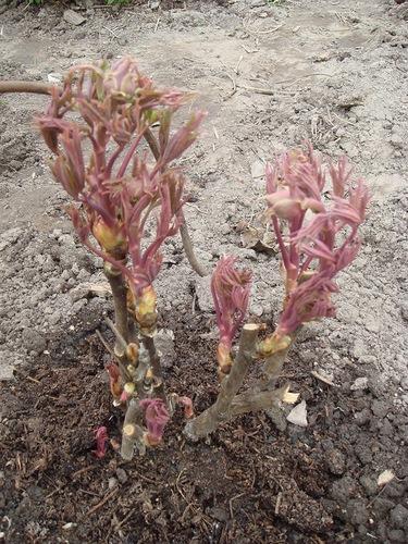 Пион из семян как вырастить