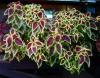 Колеус - разнообразие окрасок только из семян