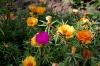Многолетний портулак: выращивание фото