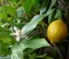 Вкуснее лимонов не едала.