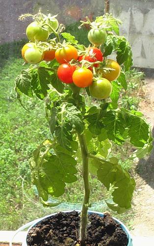 как дома выращивать на гидропонике